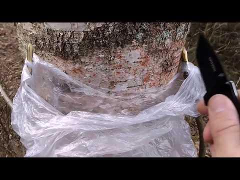 Берёзовый сок в полиэтиленовый пакет.Как собрать берёзовый сок легко и быстро. How to collect birch