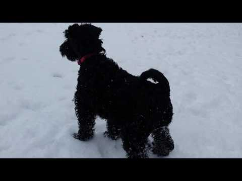 Kerry Blue Terrier Puppy & Scottie Dog