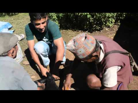 This is how people vasectomy Goat In Village ,You Will Cry After Watching This