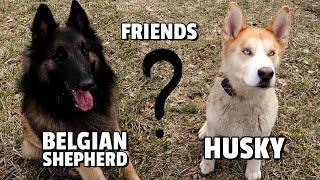 Husky and Belgian Shepherd are True Best Friends
