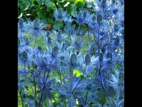How to plant Perennials Sea Holly - How to Spring planting flower bed