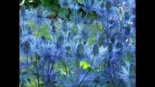 Video How to plant Perennials Sea Holly - How to Spring planting flower bed download MP3, 3GP, MP4, WEBM, AVI, FLV Juli 2018