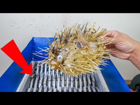 BLOWFISH VS SHREDDING MACHINE! WHAT'S INSIDE A BLOWFISH? AMAZING ASMR EXPERIMENT