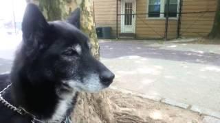 Jindo Dog Best Pet I Ever Have,smart , Kind, Great With Kids