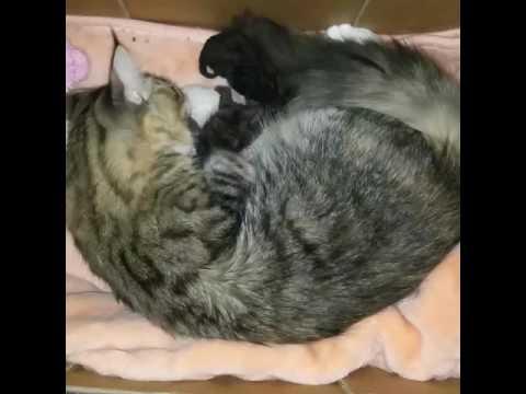 Maine coon adopting Selkirk rex kittens