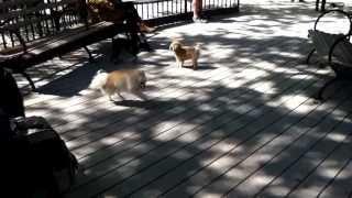 Benji-ray , My Pomeranian, Playing In Small Dog Park Nyc