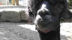 spuckendes Lama sehr lustig---spitting lama very funny