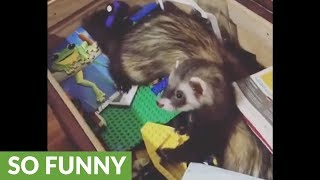 Puppy eager to play with unimpressed ferrets