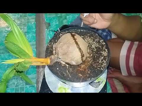 Bonsai Kelapa Mengatasi Batok Retak Pada Bahan Coco Bonsai Youtube