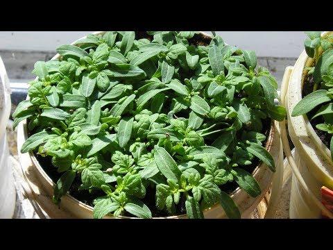 видео: Сеем томаты в апреле, еще не поздно! Проверенные скороспелые сорта