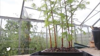 Bonsai Techniques - Dawn Redwood Forest Planting (Yose-ue)