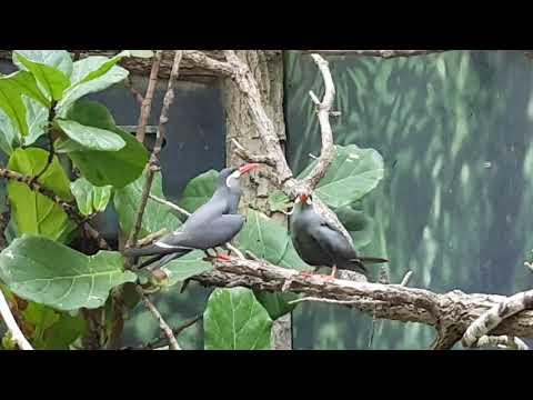 A pair of Inca terns