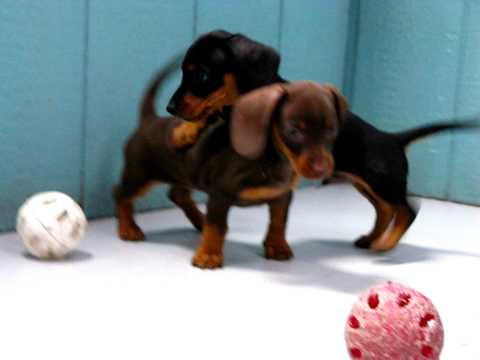 Miniature Dachshund Puppies For Sale In San Jose California
