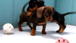 Miniature Dachshund, Puppies, For, Sale, In, San Jose, California, Ca, Ontario, Santa Rosa