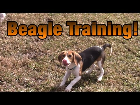 Training A Beagle To Hunt Rabbits