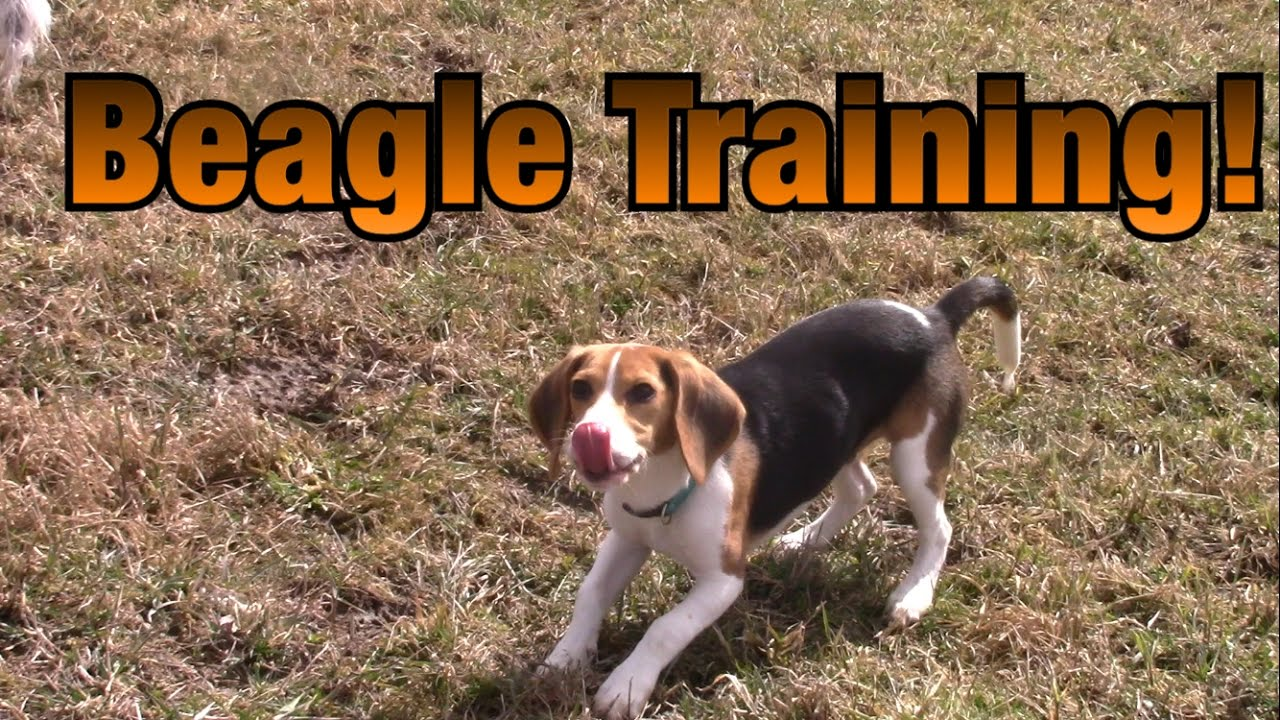 Training A Beagle To Hunt Rabbits Youtube