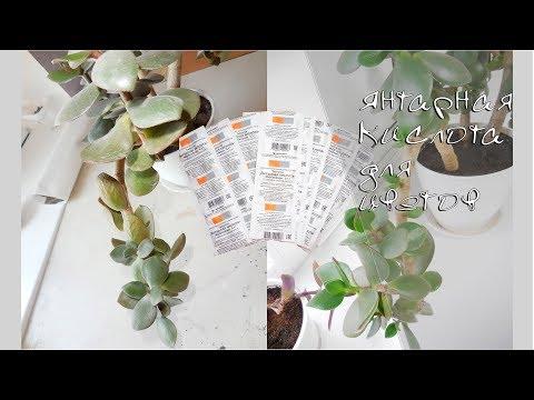 Янтарная кислота для комнатных растений. Результаты!!! Спасаем денежное дерево