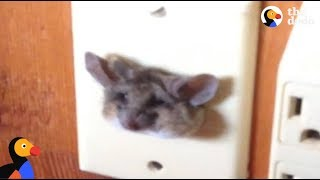 Kangaroo Rat Stuck in Outlet Rescued | The Dodo