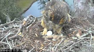 Great Horned Owl feeding and first egg, 23 January, 2016