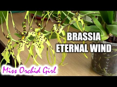Brassia Eternal Wind - Meet the spider orchid