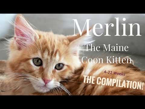 Merlin the Maine Coon Kitten (4-22 Weeks) - The Compilation!