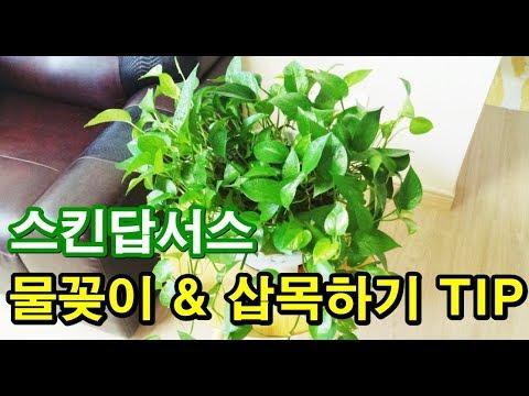(스킨키우기) 공기정화식물 스킨답서스 가지�
