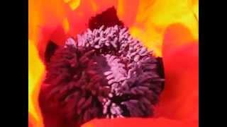 5.Цветение многолетнего мака. blossoming perennial poppy