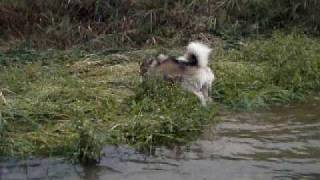 Alaskan Malamute アラスカンマラミュートの銀 泳ぐ・・・