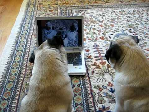 Pugs Watching Themselves on YouTube - YouTube