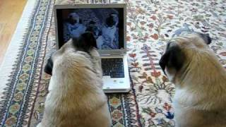 Pugs Watching Themselves On Youtube