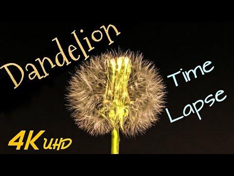 Dandelion - Timelapse 4K