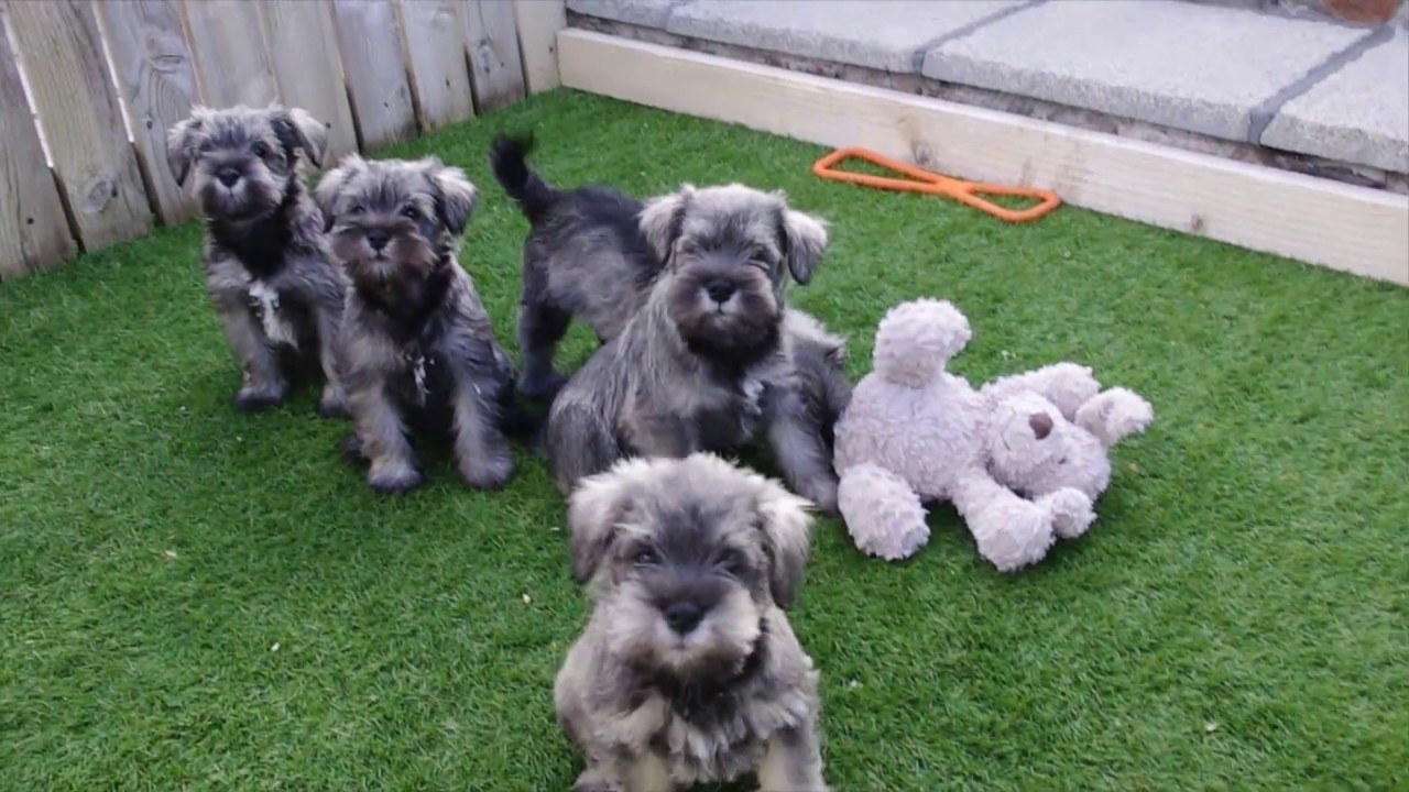 Miniature Schnauzer Pups For Sale Youtube