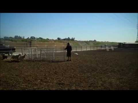 Puli Dog Herding Sheep