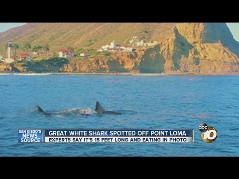 Great white shark spotted off Point Loma