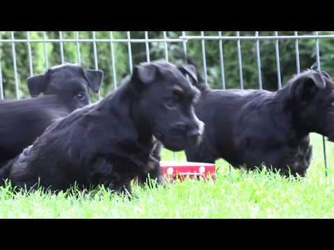 Scottish Terrier Puppies  July 2017