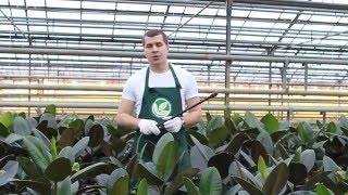 Неприхотливые комнатные растения: Фикус каучуконосный