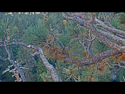 Big Bear Eagle Cam ~ Vocals Heard ~ Eagle On Dead Tree, Panning & Fly Bys 10.12.18 - 동영상