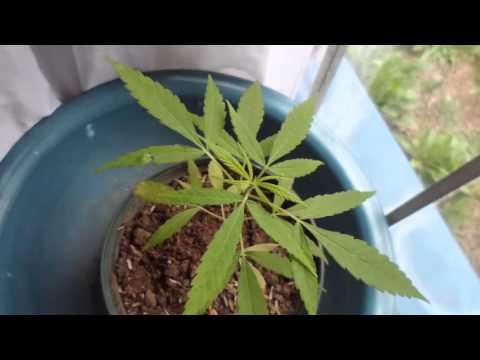 Fisiologia de la planta Cannabis sativa