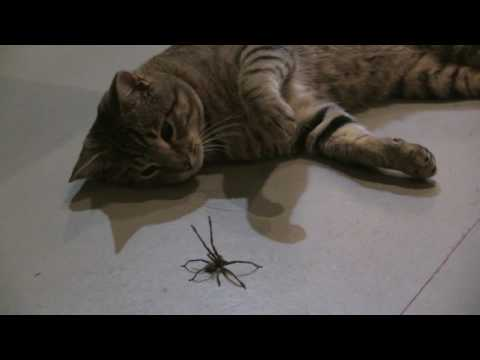 Cat vs Spider