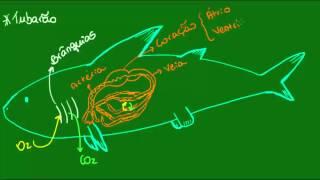 Respiração, circulação e excreção dos Condrictes - Vertebrados - Biologia