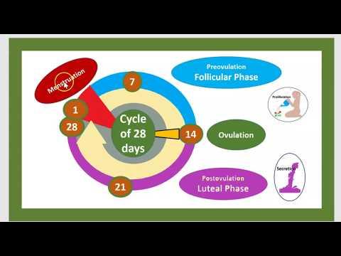 Cycle Menstruel Fertilité Femme Règles Hormones Ovulation  cycle de l'ovaire, de l'utérus 3minuts