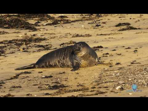 Your Earth Is Blue: Elephant Seals in Monterey Bay National Marine Sanctuary