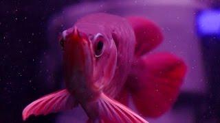 LIOW VIDEO: SUPER RED AROWANA FEEDING TIME 喂红龙鱼
