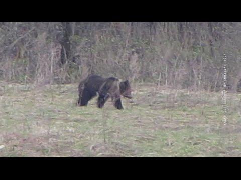 Медведи грабят пасеки.