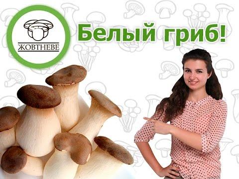 вешенка чаудинский гриб отличие от королевской