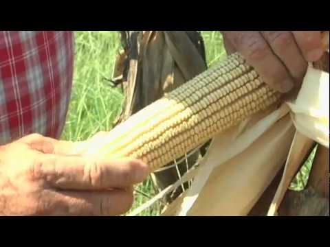 Heritage corn makes a comeback