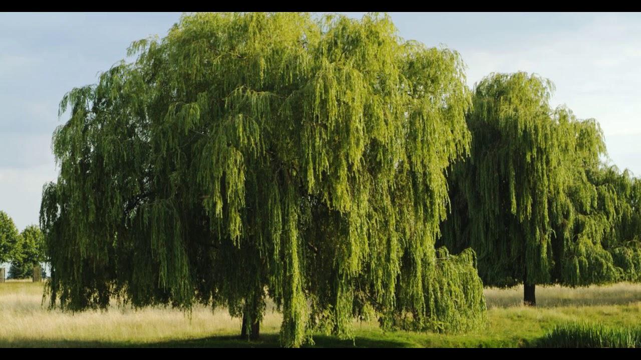 картинка ивушки дерево