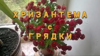 """""""Хризантема в горшке! Шаг кустика – от грядки до подоконника"""""""