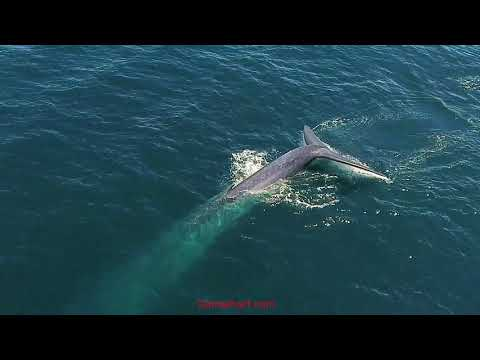 First Blue Whale Sighting In Dana Point Reveals This Gentle Giant