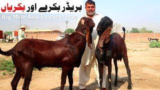 Big Breeder And Milking Goats - Bakray Aur Bakriyan Shahpur Kanjra Mandi Lahore